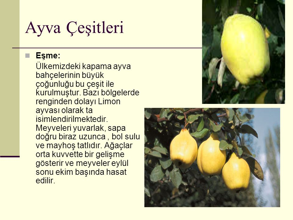 Ayva Çeşitleri Eşme: Ülkemizdeki kapama ayva bahçelerinin büyük çoğunluğu bu çeşit ile kurulmuştur. Bazı bölgelerde renginden dolayı Limon ayvası olar