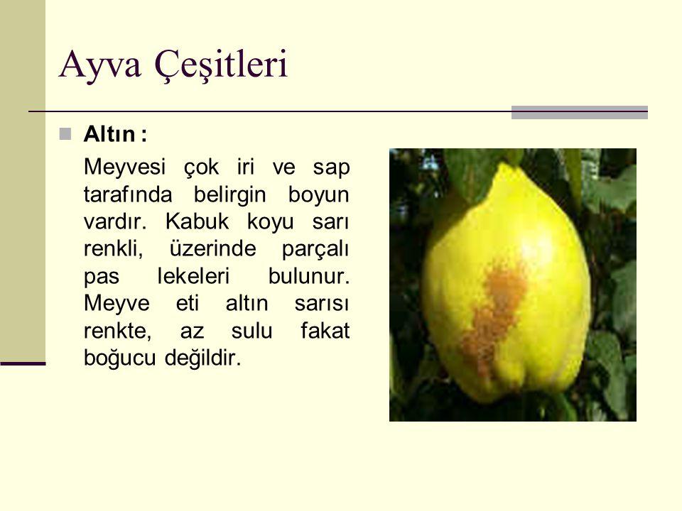 Ayva Çeşitleri Altın : Meyvesi çok iri ve sap tarafında belirgin boyun vardır. Kabuk koyu sarı renkli, üzerinde parçalı pas lekeleri bulunur. Meyve et