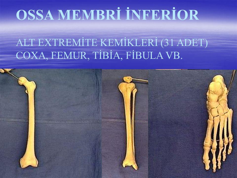 OSSA MEMBRİ SUPERİOR ÜST EXTREMİTE KEMİKLERİ (32 ADET) HUMERUS, RADİUS, ULNA VB.