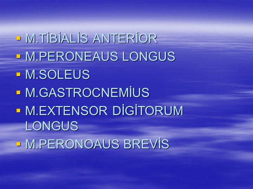 ALT EXTREMİTE KASALARI  M.GLUTEUS MAXİMUS  M.GLUTEUS MİNİMUS  M.QUADRİCEPS FEMORİS  M.RECTUS FEMORİS  M.SARTORİUS  M.GRACİLİS  M.VASTUS LATERALİS  M.BİCEPS FEMORİS