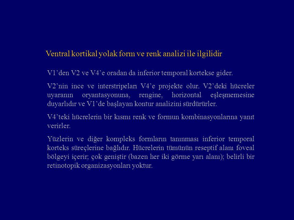 Ventral kortikal yolak form ve renk analizi ile ilgilidir V1'den V2 ve V4'e oradan da inferior temporal kortekse gider. V2'nin ince ve interstripeları