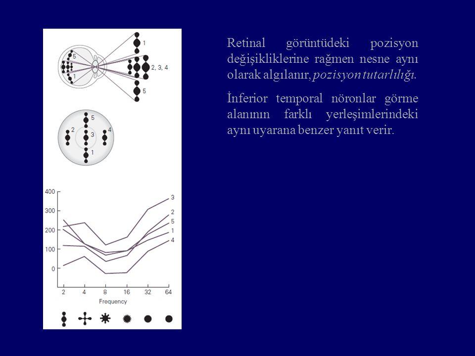 Retinal görüntüdeki pozisyon değişikliklerine rağmen nesne aynı olarak algılanır, pozisyon tutarlılığı. İnferior temporal nöronlar görme alanının fark