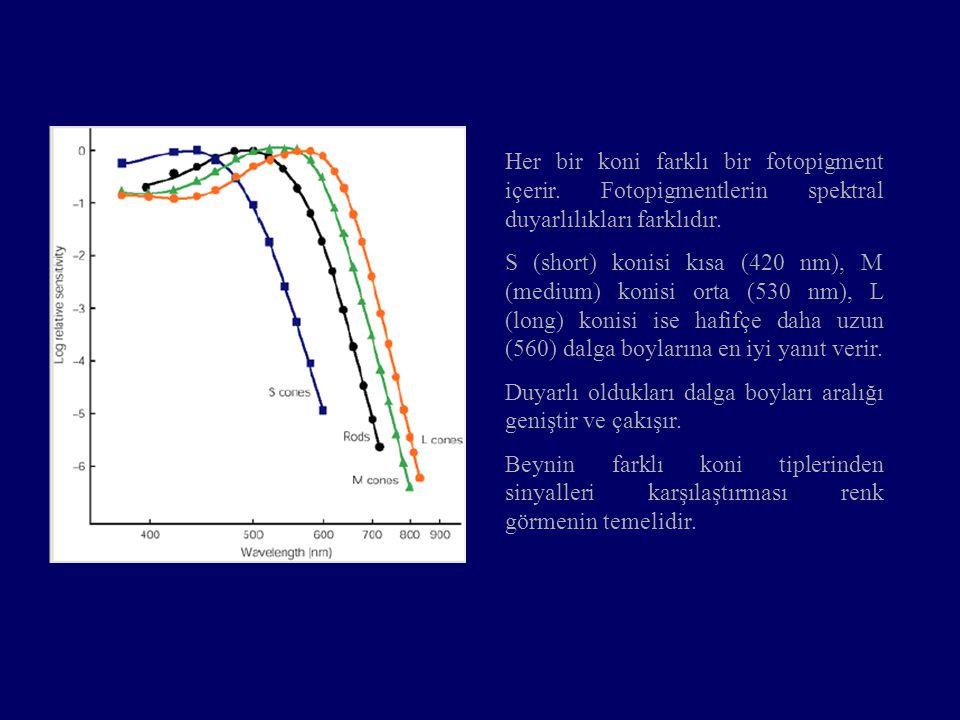 Her bir koni farklı bir fotopigment içerir. Fotopigmentlerin spektral duyarlılıkları farklıdır. S (short) konisi kısa (420 nm), M (medium) konisi orta
