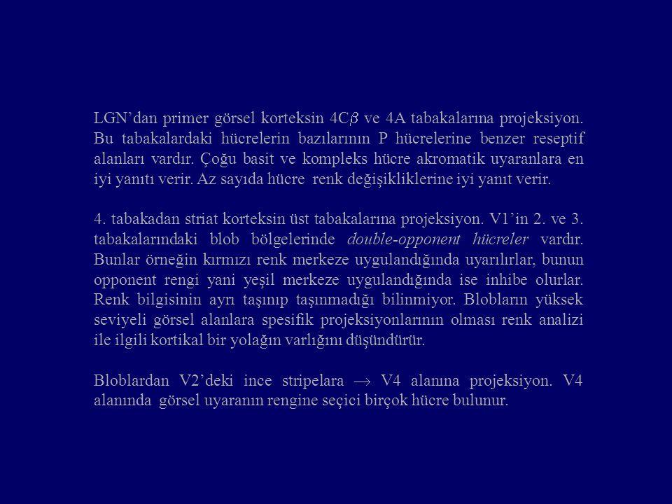 LGN'dan primer görsel korteksin 4C  ve 4A tabakalarına projeksiyon. Bu tabakalardaki hücrelerin bazılarının P hücrelerine benzer reseptif alanları va