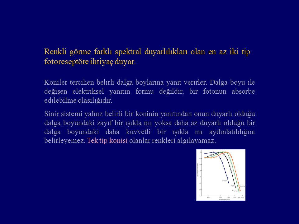 Koniler tercihen belirli dalga boylarına yanıt verirler. Dalga boyu ile değişen elektriksel yanıtın formu değildir, bir fotonun absorbe edilebilme ola
