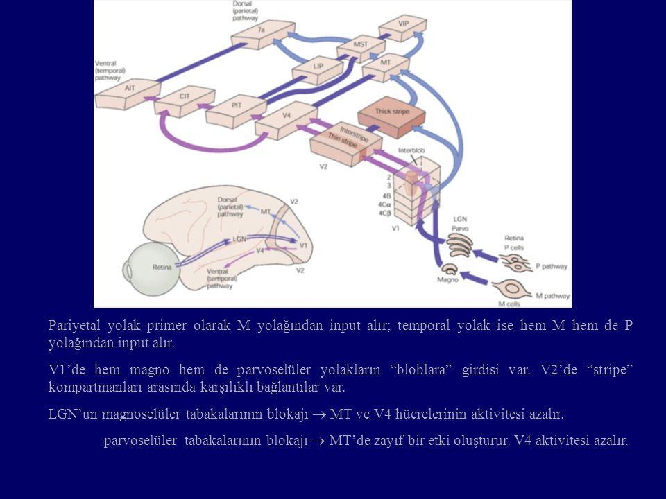 Pariyetal yolak primer olarak M yolağından input alır; temporal yolak ise hem M hem de P yolağından input alır. V1'de hem magno hem de parvoselüler yo