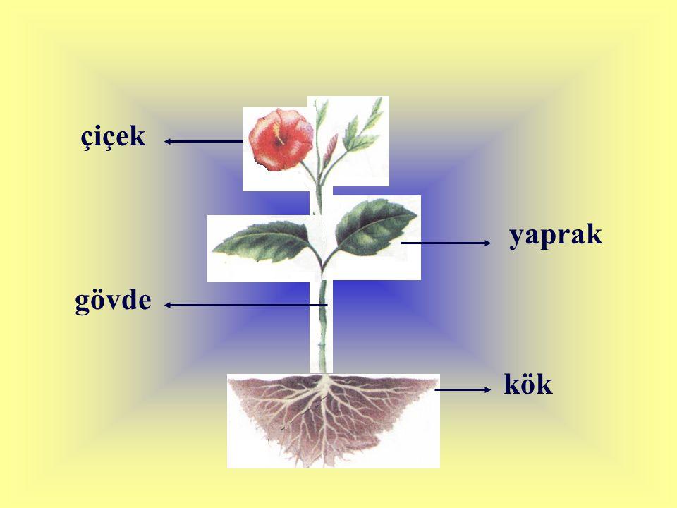 Bitkiyi toprakta tutan kısma KÖK denir.
