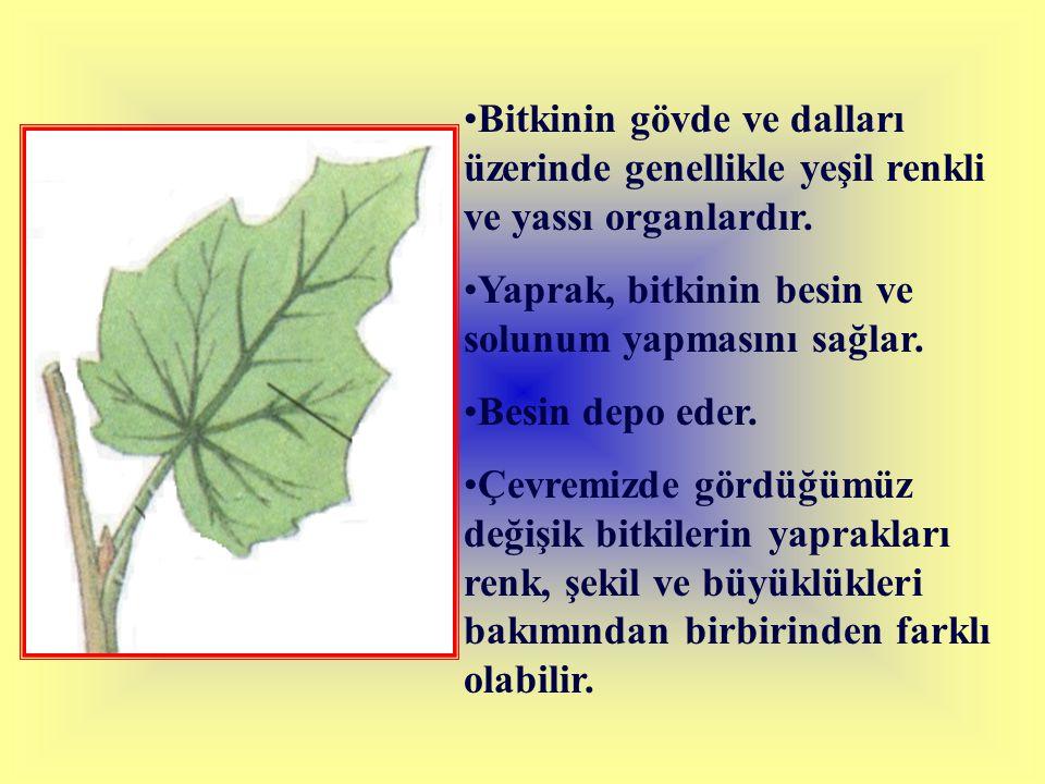 Bitkinin gövde ve dalları üzerinde genellikle yeşil renkli ve yassı organlardır. Yaprak, bitkinin besin ve solunum yapmasını sağlar. Besin depo eder.