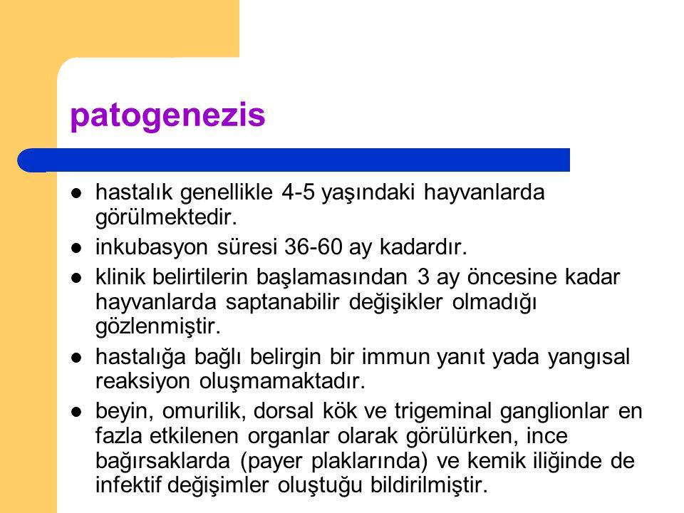 patogenezis hastalık genellikle 4-5 yaşındaki hayvanlarda görülmektedir.