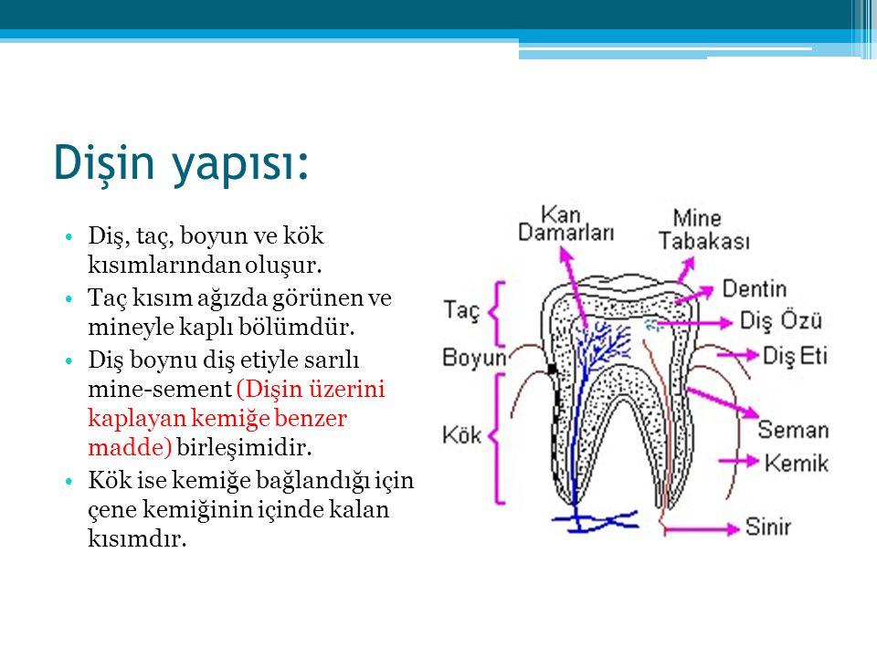 Dişin yapısı: Diş, taç, boyun ve kök kısımlarından oluşur. Taç kısım ağızda görünen ve mineyle kaplı bölümdür. Diş boynu diş etiyle sarılı mine-sement