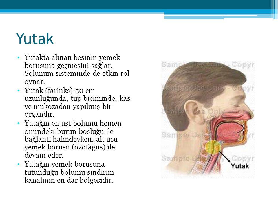 Yutak Yutakta alınan besinin yemek borusuna geçmesini sağlar. Solunum sisteminde de etkin rol oynar. Yutak (farinks) 50 cm uzunluğunda, tüp biçiminde,
