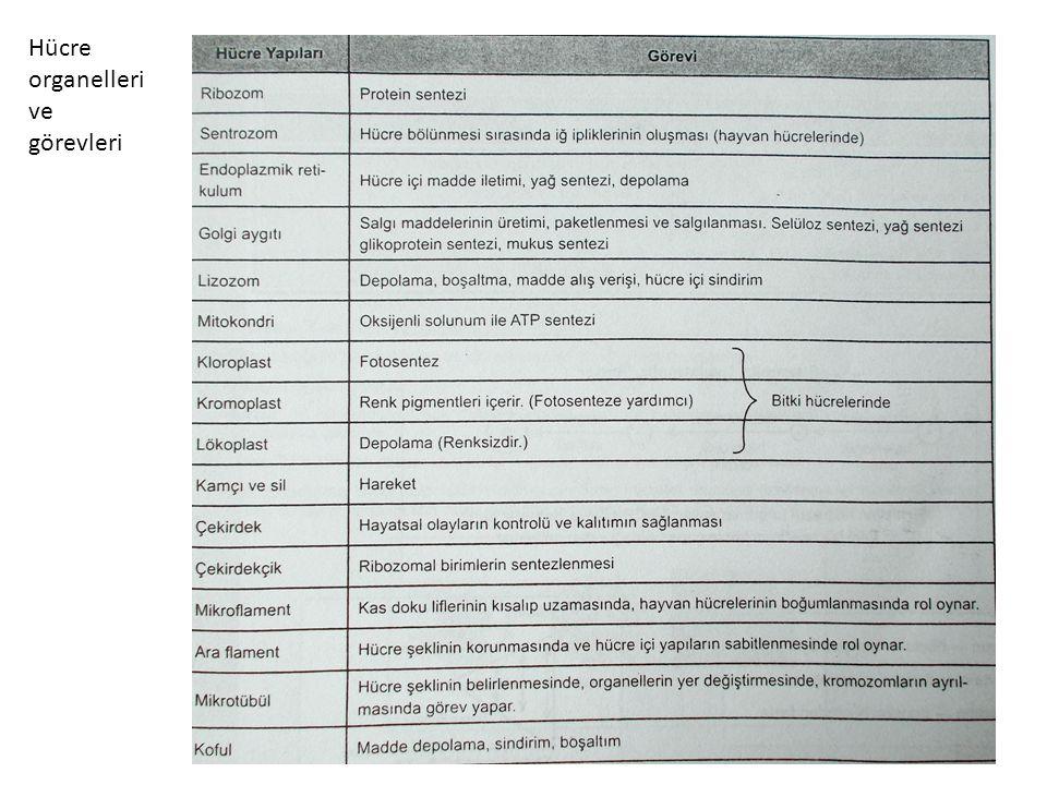 Hücre organelleri ve görevleri