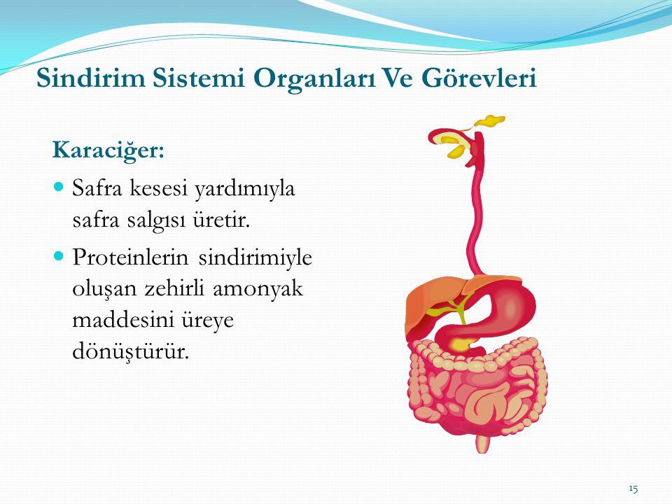 Karaciğer: Safra kesesi yardımıyla safra salgısı üretir.