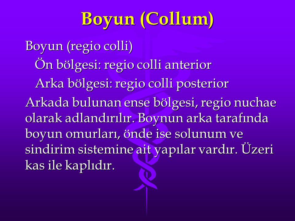 Boyun (Collum) Boyun (regio colli) Ön bölgesi: regio colli anterior Ön bölgesi: regio colli anterior Arka bölgesi: regio colli posterior Arka bölgesi: regio colli posterior Arkada bulunan ense bölgesi, regio nuchae olarak adlandırılır.