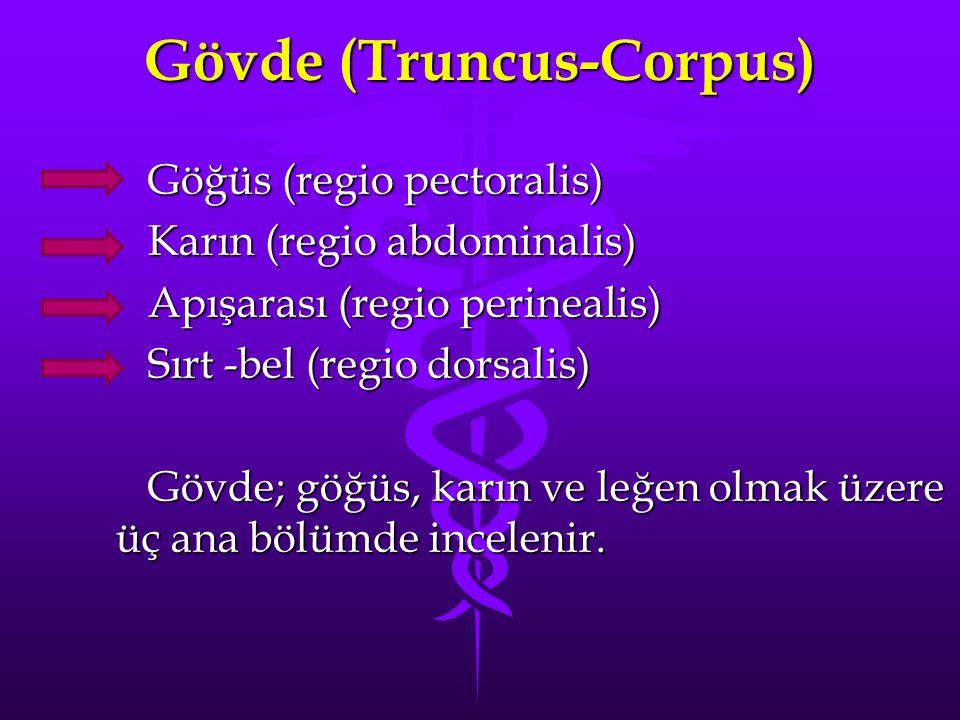 Gövde (Truncus-Corpus) Göğüs (regio pectoralis) Göğüs (regio pectoralis) Karın (regio abdominalis) Karın (regio abdominalis) Apışarası (regio perinealis) Apışarası (regio perinealis) Sırt -bel (regio dorsalis) Sırt -bel (regio dorsalis) Gövde; göğüs, karın ve leğen olmak üzere üç ana bölümde incelenir.