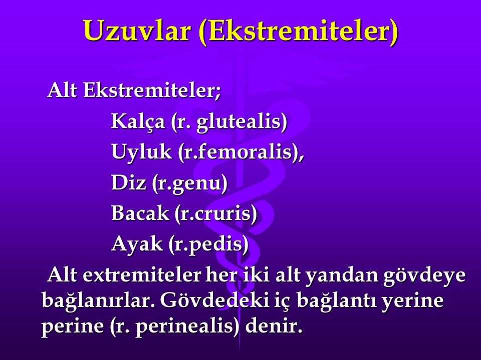Uzuvlar (Ekstremiteler) Alt Ekstremiteler; Alt Ekstremiteler; Kalça (r. glutealis) Kalça (r. glutealis) Uyluk (r.femoralis), Uyluk (r.femoralis), Diz