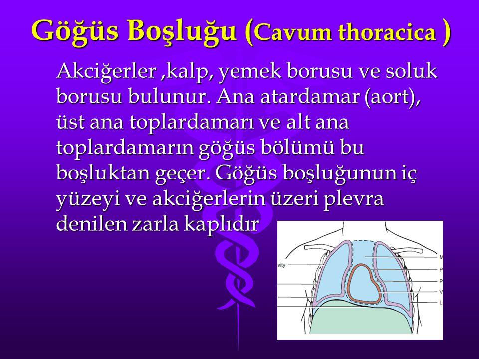 Göğüs Boşluğu ( Cavum thoracica ) Akciğerler,kalp, yemek borusu ve soluk borusu bulunur. Ana atardamar (aort), üst ana toplardamarı ve alt ana toplard