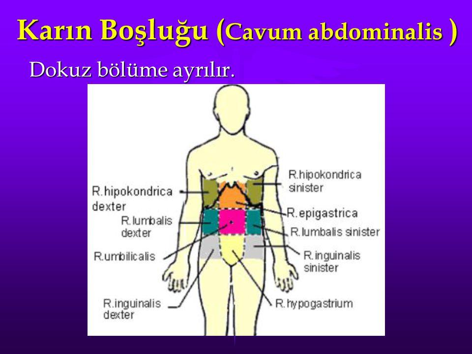 Karın Boşluğu ( Cavum abdominalis ) Dokuz bölüme ayrılır.
