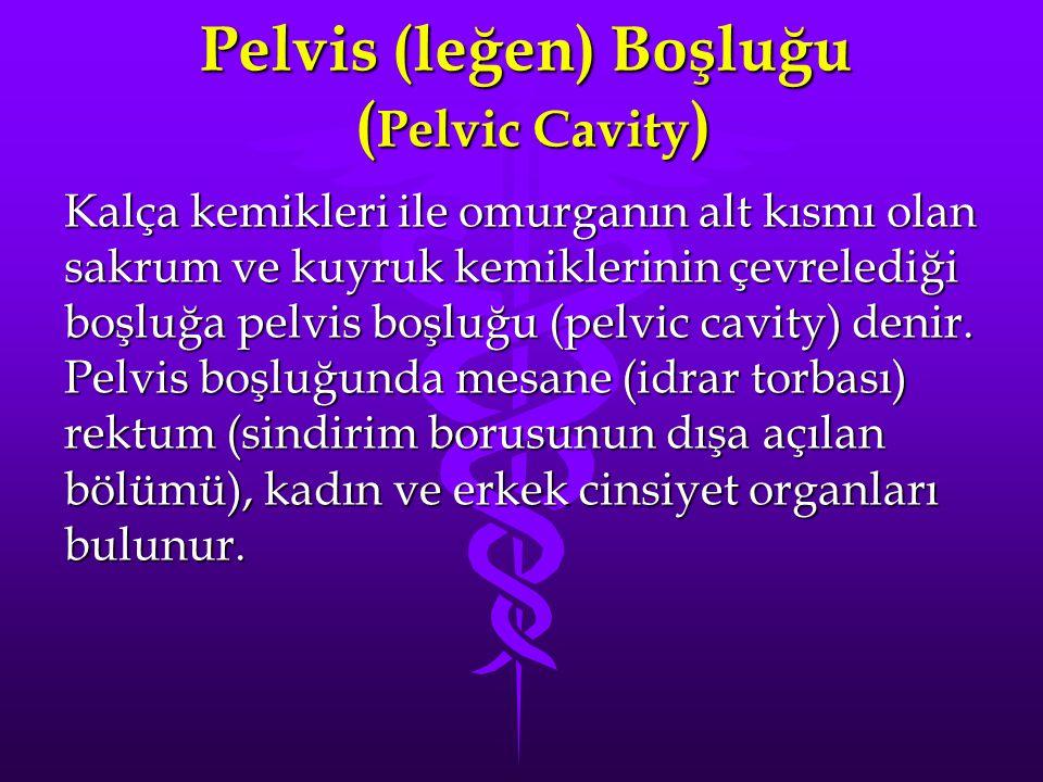 Pelvis (leğen) Boşluğu ( Pelvic Cavity ) Kalça kemikleri ile omurganın alt kısmı olan sakrum ve kuyruk kemiklerinin çevrelediği boşluğa pelvis boşluğu (pelvic cavity) denir.