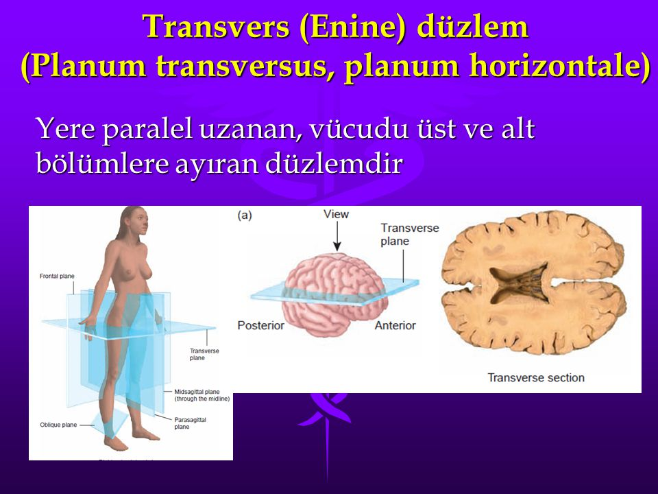 Transvers (Enine) düzlem (Planum transversus, planum horizontale) Yere paralel uzanan, vücudu üst ve alt bölümlere ayıran düzlemdir