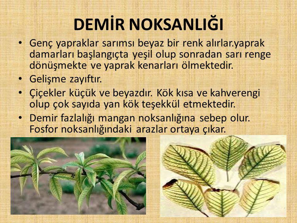 DEMİR NOKSANLIĞI Genç yapraklar sarımsı beyaz bir renk alırlar.yaprak damarları başlangıçta yeşil olup sonradan sarı renge dönüşmekte ve yaprak kenarl