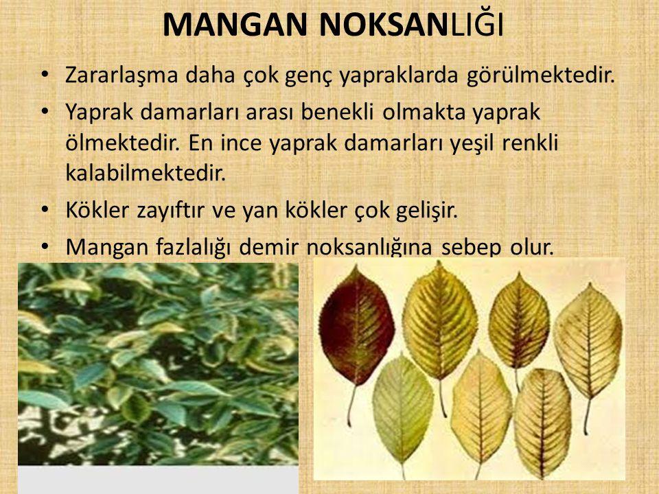 MANGAN NOKSANLIĞI Zararlaşma daha çok genç yapraklarda görülmektedir. Yaprak damarları arası benekli olmakta yaprak ölmektedir. En ince yaprak damarla