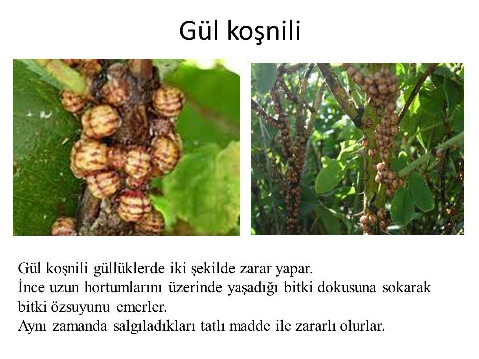 Gül koşnili Gül koşnili güllüklerde iki şekilde zarar yapar. İnce uzun hortumlarını üzerinde yaşadığı bitki dokusuna sokarak bitki özsuyunu emerler. A