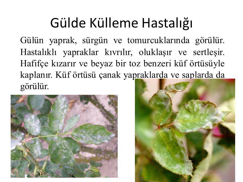 Gülde Külleme Hastalığı Gülün yaprak, sürgün ve tomurcuklarında görülür. Hastalıklı yapraklar kıvrılır, oluklaşır ve sertleşir. Hafifçe kızarır ve bey