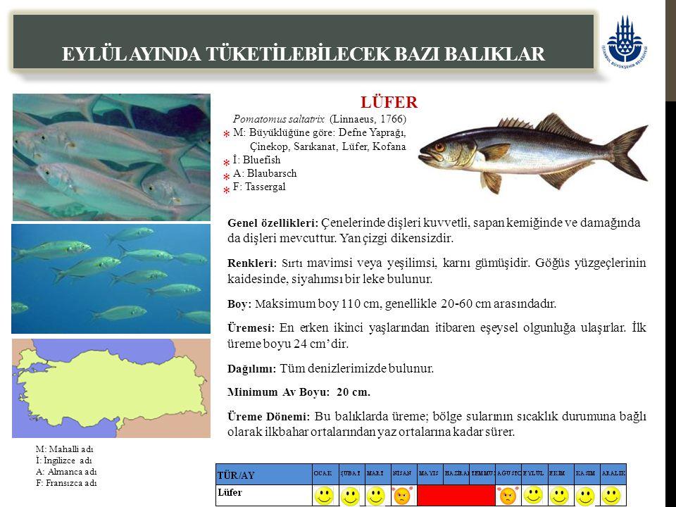 LÜFER Pomatomus saltatrix (Linnaeus, 1766) M: Büyüklüğüne göre: Defne Yaprağı, Çinekop, Sarıkanat, Lüfer, Kofana İ: Bluefish A: Blaubarsch F: Tasserga