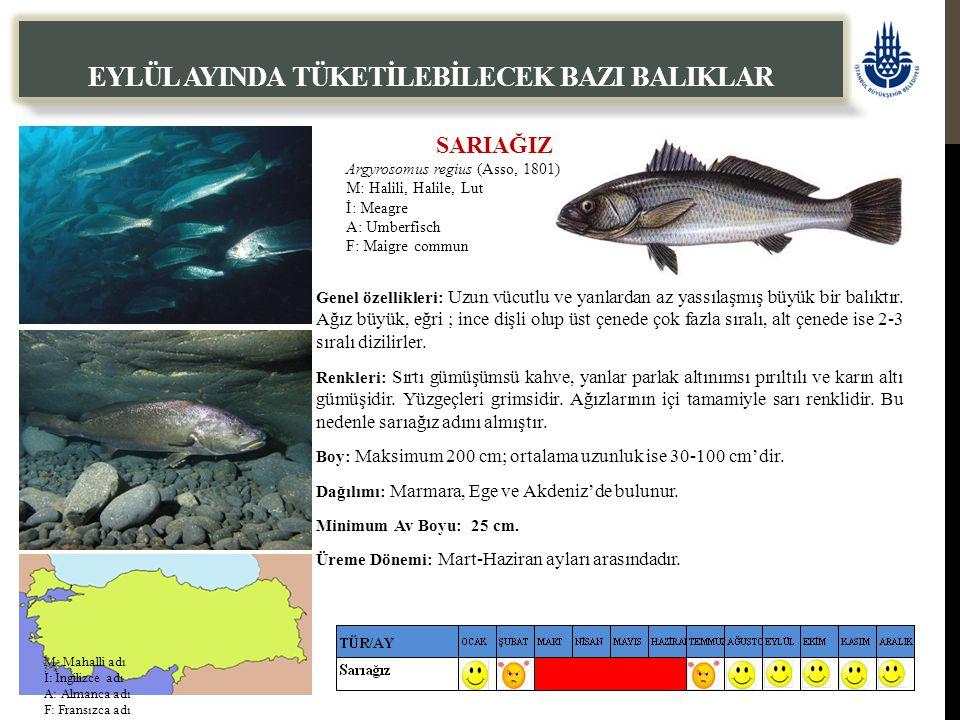 SARIAĞIZ Argyrosomus regius (Asso, 1801) M: Halili, Halile, Lut İ: Meagre A: Umberfisch F: Maigre commun EYLÜL AYINDA TÜKETİLEBİLECEK BAZI BALIKLAR Genel özellikleri: Uzun vücutlu ve yanlardan az yassılaşmış büyük bir balıktır.