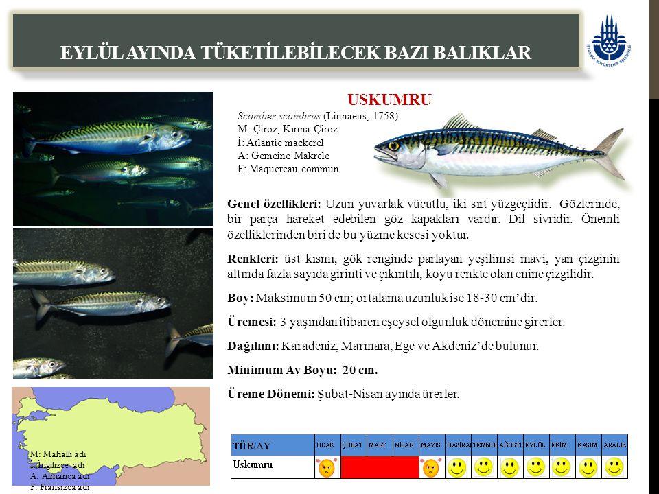 USKUMRU Scomber scombrus (Linnaeus, 1758) M: Çiroz, Kırma Çiroz İ: Atlantic mackerel A: Gemeine Makrele F: Maquereau commun EYLÜL AYINDA TÜKETİLEBİLECEK BAZI BALIKLAR Genel özellikleri: Uzun yuvarlak vücutlu, iki sırt yüzgeçlidir.