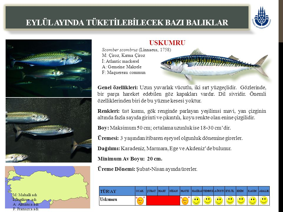USKUMRU Scomber scombrus (Linnaeus, 1758) M: Çiroz, Kırma Çiroz İ: Atlantic mackerel A: Gemeine Makrele F: Maquereau commun EYLÜL AYINDA TÜKETİLEBİLEC