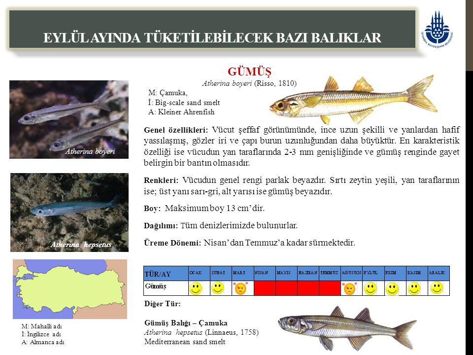 GÜMÜŞ Atherina boyeri (Risso, 1810) M: Çamuka, İ: Big-scale sand smelt A: Kleiner Ahrenfish EYLÜL AYINDA TÜKETİLEBİLECEK BAZI BALIKLAR Genel özellikle