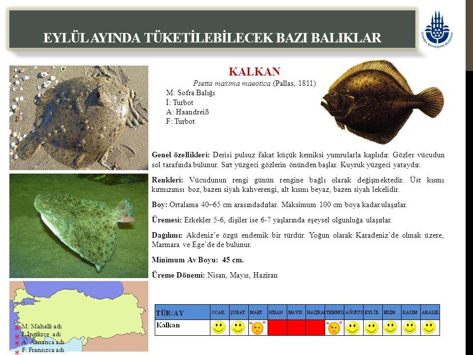 KALKAN Psetta maxima maeotica (Pallas, 1811) M: Sofra Balığı İ: Turbot A: Haandreiß F: Turbot EYLÜL AYINDA TÜKETİLEBİLECEK BAZI BALIKLAR Genel özellikleri: Derisi pulsuz fakat küçük kemiksi yumrularla kaplıdır.