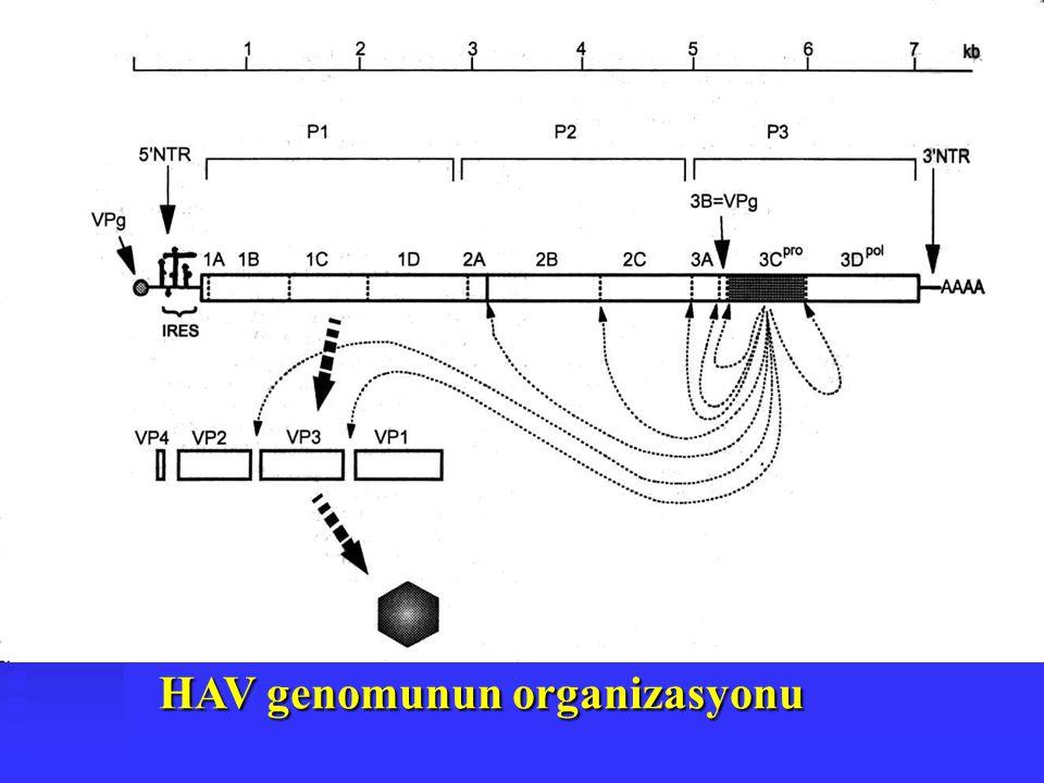 HAV genomunun organizasyonu HAV genomunun organizasyonu