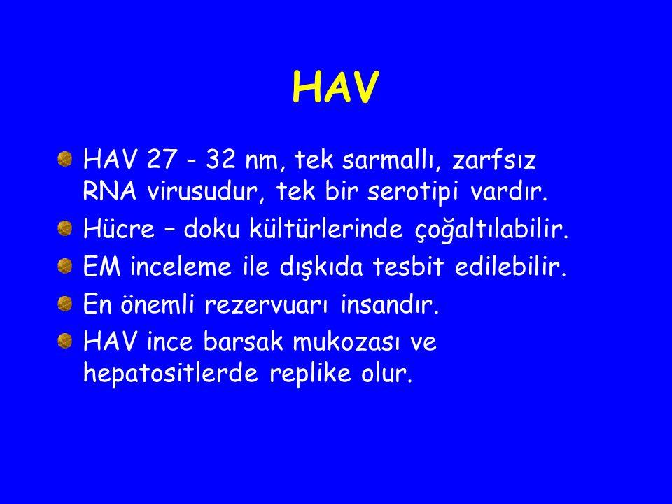 HAV HAV 27 - 32 nm, tek sarmallı, zarfsız RNA virusudur, tek bir serotipi vardır. Hücre – doku kültürlerinde çoğaltılabilir. EM inceleme ile dışkıda t