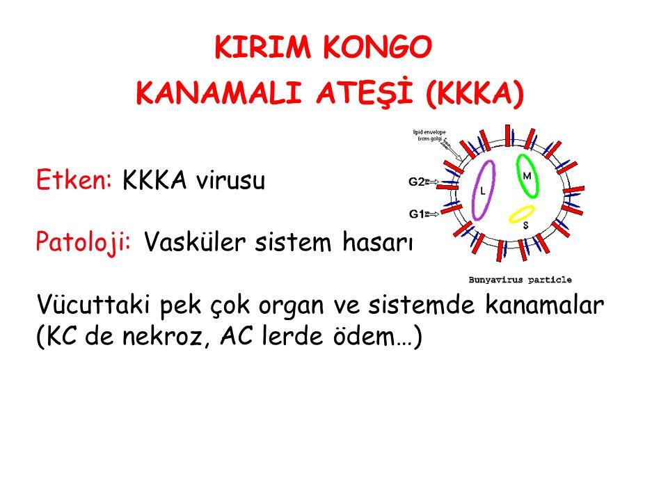 Etken: KKKA virusu Patoloji: Vasküler sistem hasarı Vücuttaki pek çok organ ve sistemde kanamalar (KC de nekroz, AC lerde ödem…) KIRIM KONGO KANAMALI ATEŞİ (KKKA)