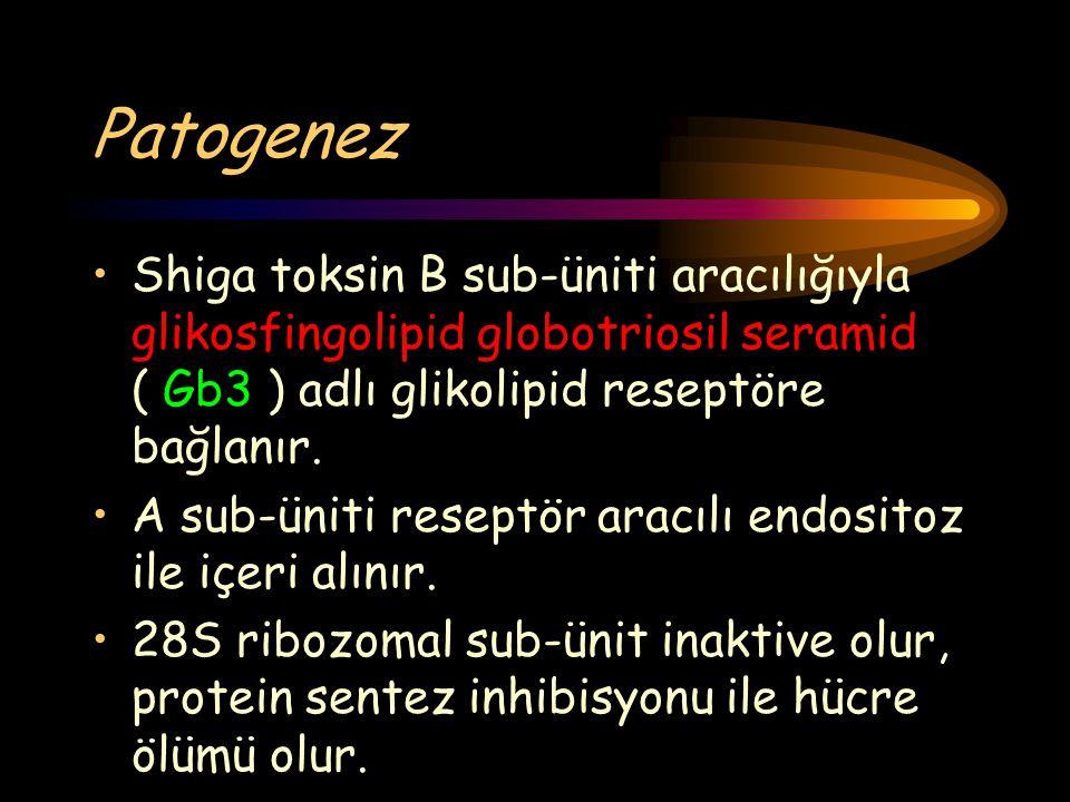 Patogenez Shiga toksin B sub-üniti aracılığıyla glikosfingolipid globotriosil seramid ( Gb3 ) adlı glikolipid reseptöre bağlanır. A sub-üniti reseptör