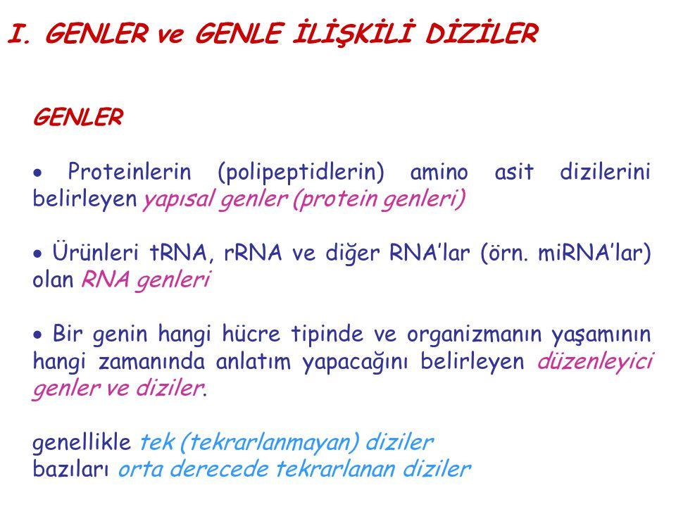 I. GENLER ve GENLE İLİŞKİLİ DİZİLER GENLER  Proteinlerin (polipeptidlerin) amino asit dizilerini belirleyen yapısal genler (protein genleri)  Ürünle