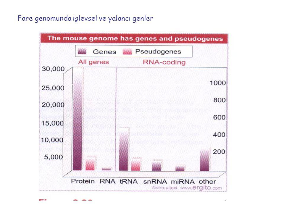 Fare genomunda işlevsel ve yalancı genler