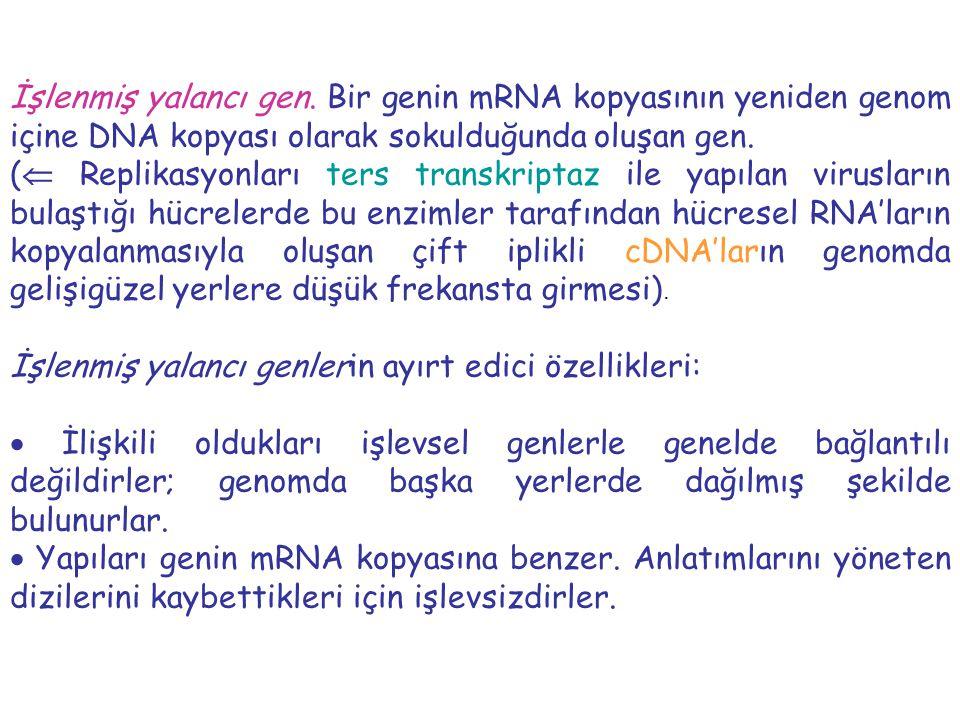 İşlenmiş yalancı gen. Bir genin mRNA kopyasının yeniden genom içine DNA kopyası olarak sokulduğunda oluşan gen. (  Replikasyonları ters transkriptaz