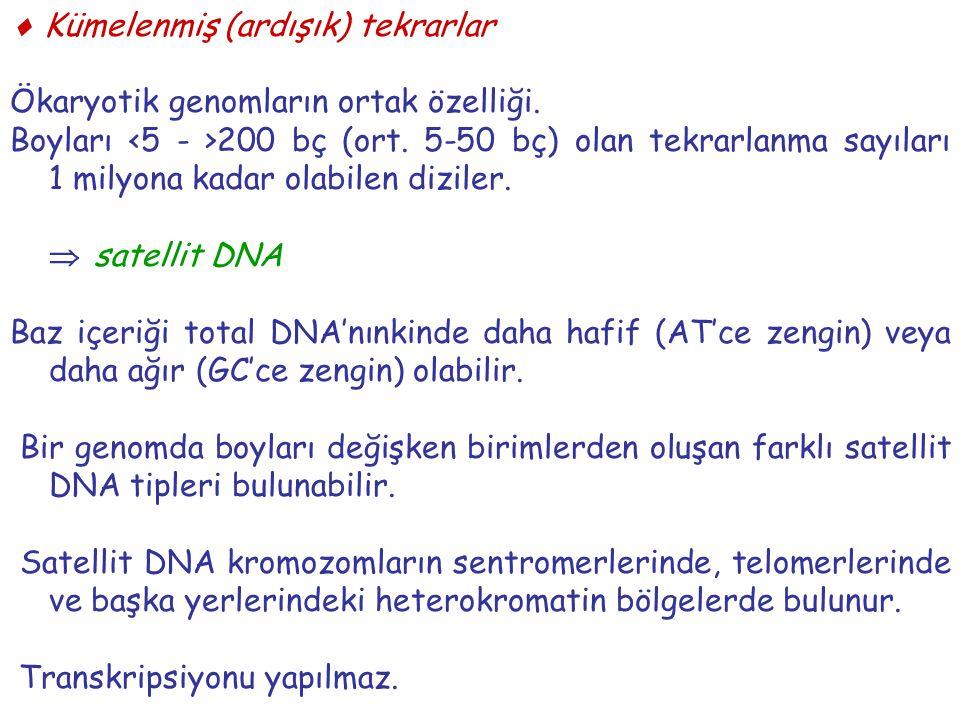  Kümelenmiş (ardışık) tekrarlar Ökaryotik genomların ortak özelliği. Boyları 200 bç (ort. 5-50 bç) olan tekrarlanma sayıları 1 milyona kadar olabilen