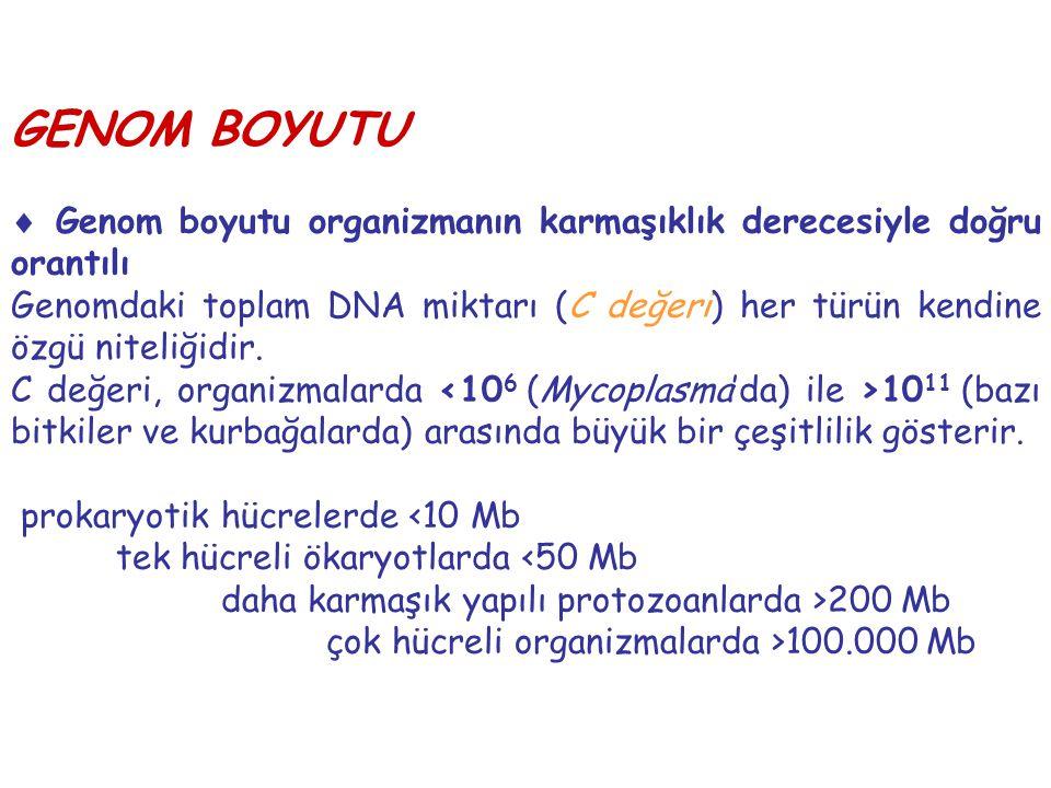GENOM BOYUTU  Genom boyutu organizmanın karmaşıklık derecesiyle doğru orantılı Genomdaki toplam DNA miktarı (C değeri) her türün kendine özgü niteliğ