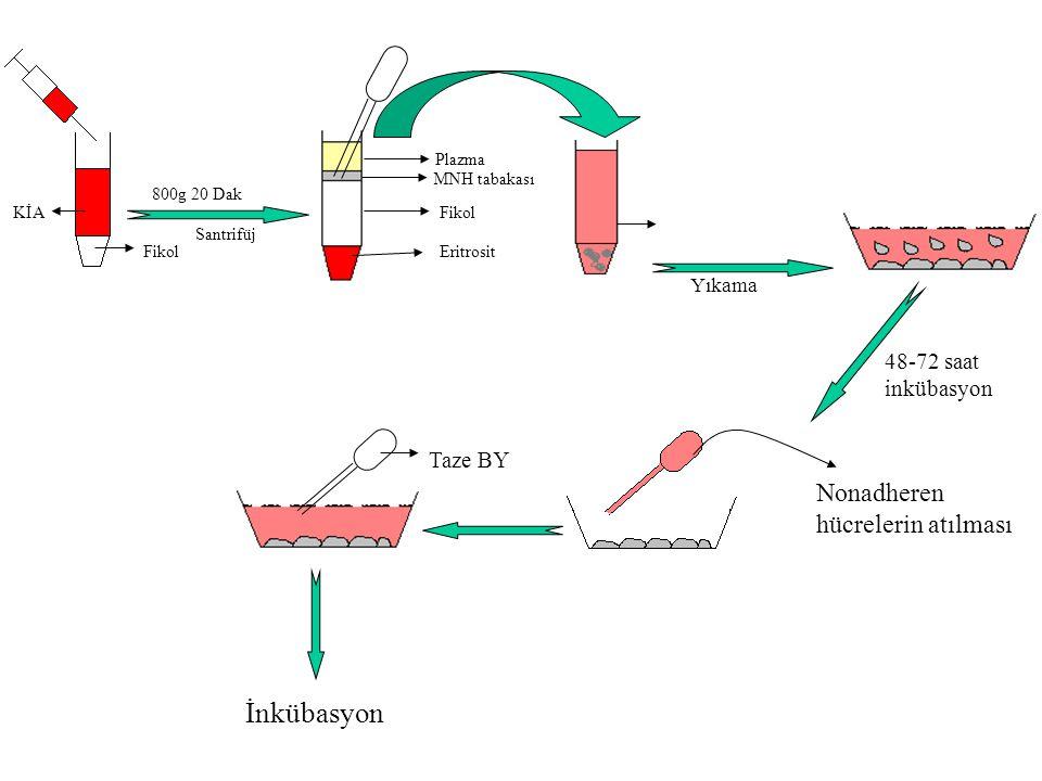 MNH tabakası Plazma Fikol Eritrosit Fikol KİA Nonadheren hücrelerin atılması Santrifüj 800g 20 Dak Yıkama 48-72 saat inkübasyon Taze BY İnkübasyon