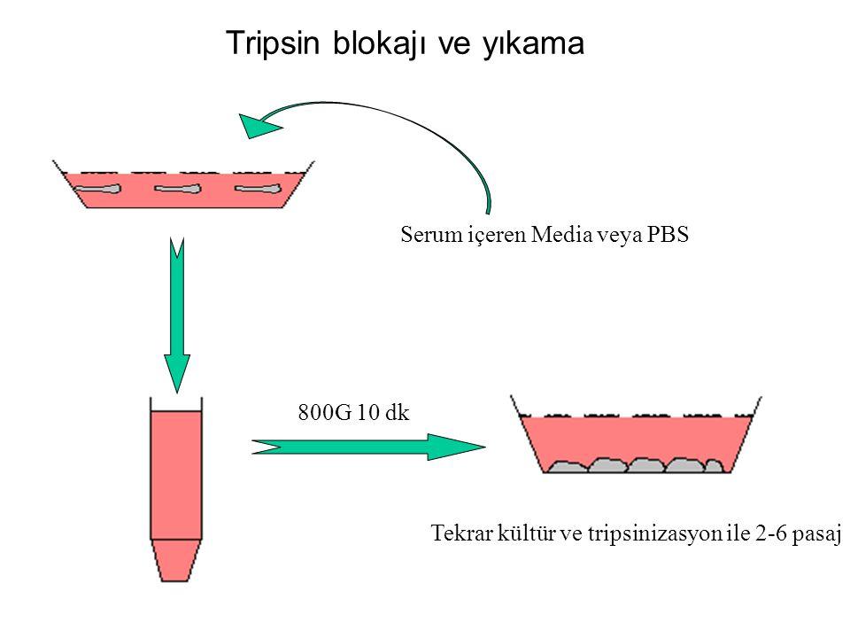 Tripsin blokajı ve yıkama Tekrar kültür ve tripsinizasyon ile 2-6 pasaj Serum içeren Media veya PBS 800G 10 dk