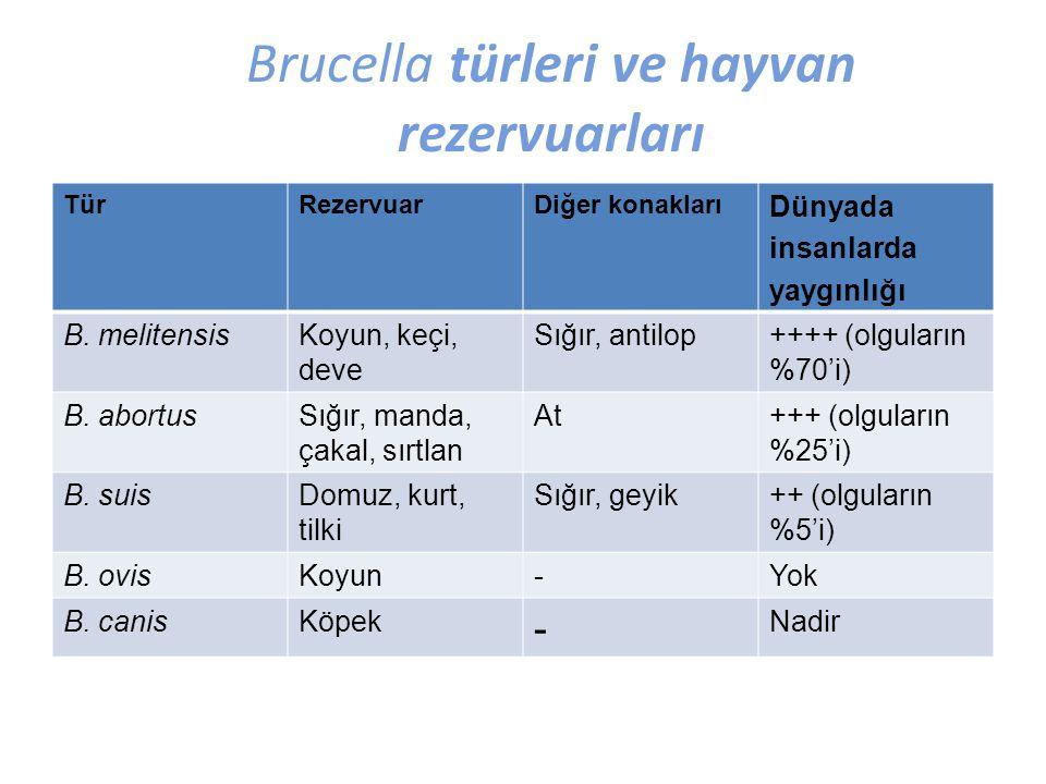 Brucella türleri ve hayvan rezervuarları TürRezervuarDiğer konakları Dünyada insanlarda yaygınlığı B. melitensisKoyun, keçi, deve Sığır, antilop++++ (
