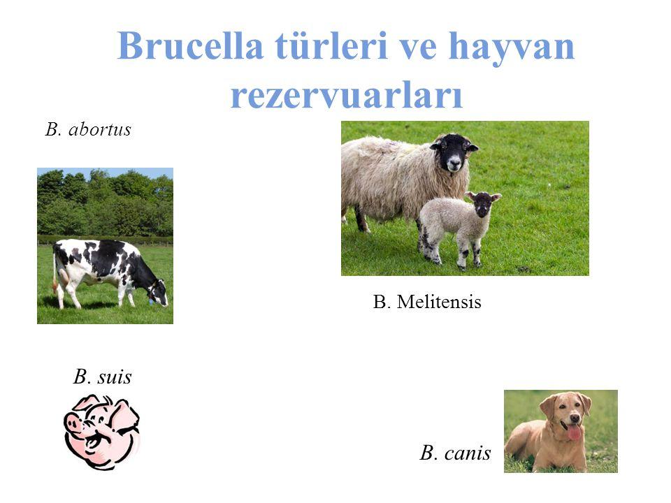 Brucella türleri ve hayvan rezervuarları B. abortus B. Melitensis B. suis B. canis