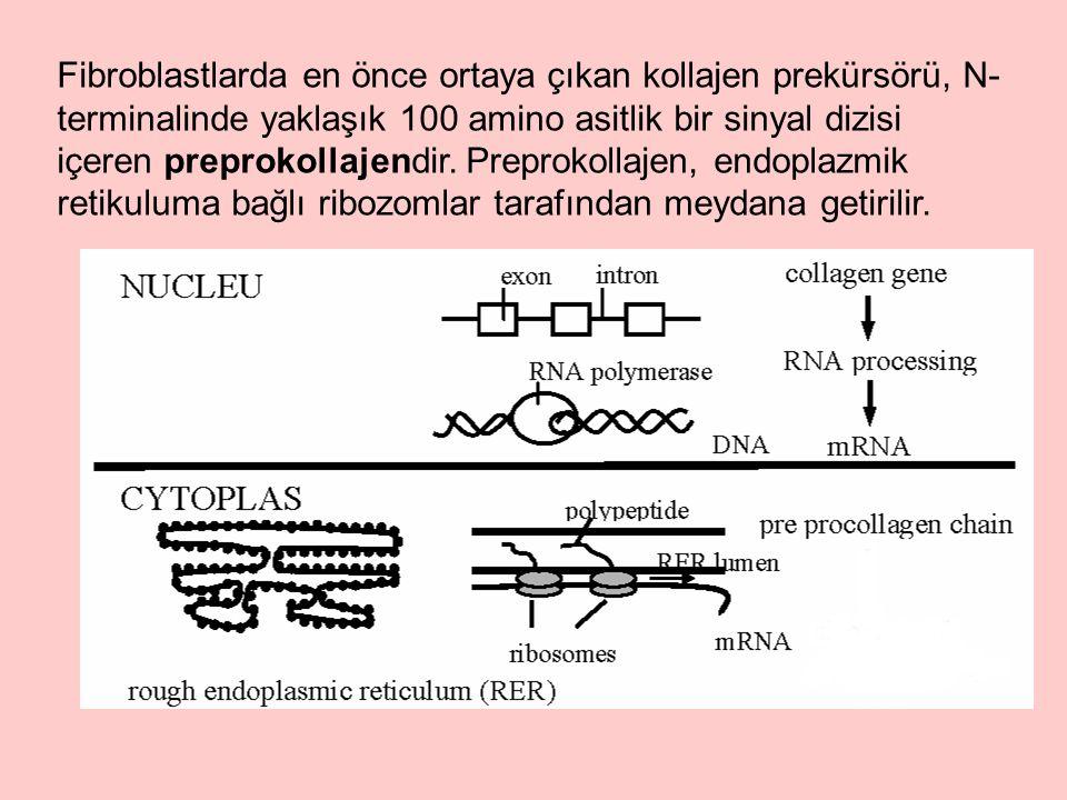 Fibroblastlarda en önce ortaya çıkan kollajen prekürsörü, N- terminalinde yaklaşık 100 amino asitlik bir sinyal dizisi içeren preprokollajendir.