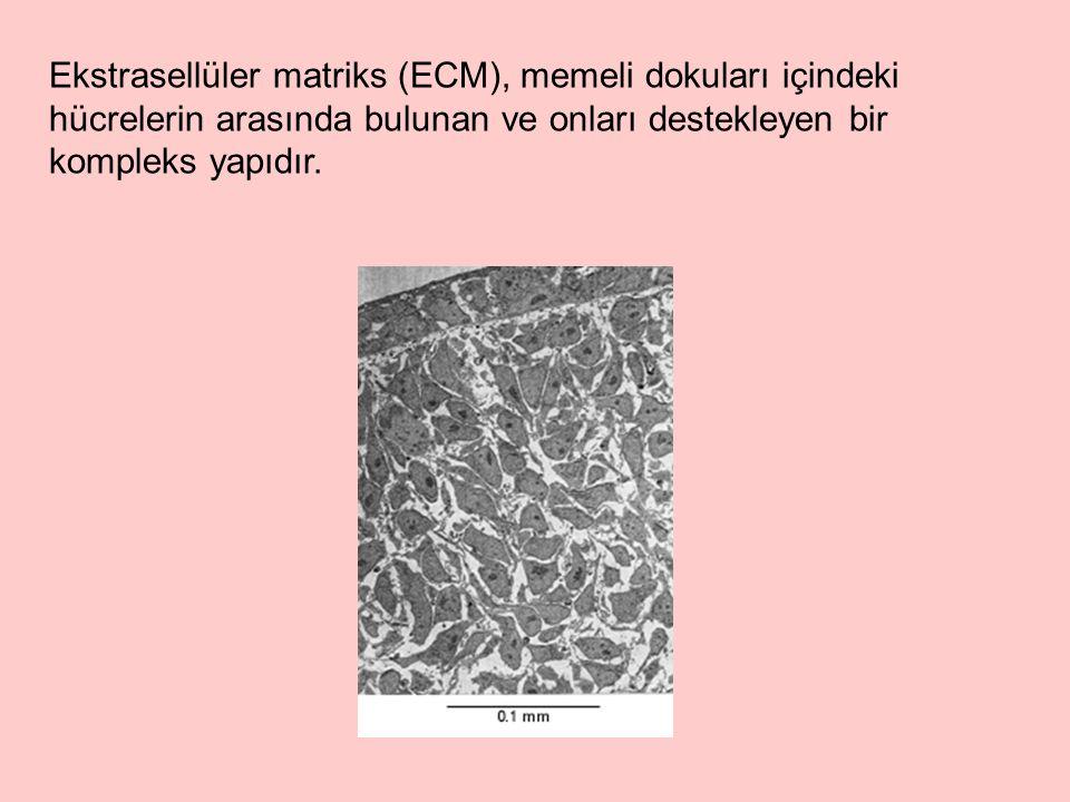 İntegrinler, ECM`den gelen uyarıların hücre içine iletiminden sorumludur.