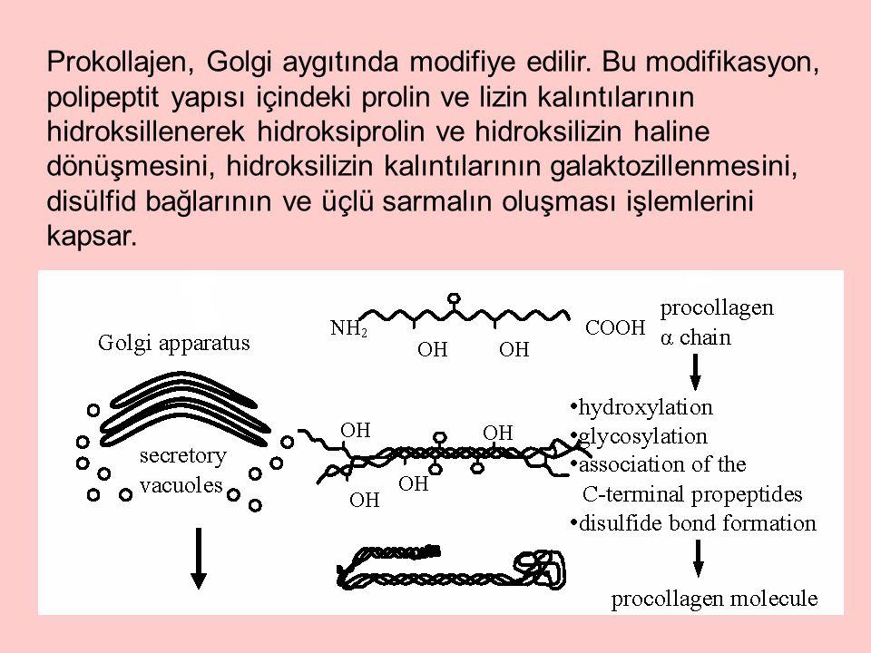 Prokollajen, Golgi aygıtında modifiye edilir.